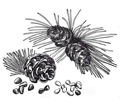 Borovicový pyl