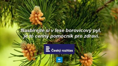 Nasbírejte si v lese borovicový pyl, je to cenný pomocník pro zdraví - ČESKÝ ROZHLAS