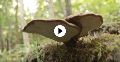 Reishi - houba nesmrtelnosti